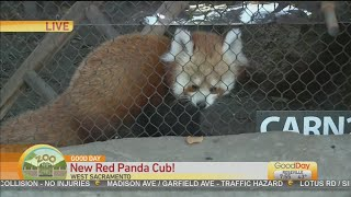 Sac Zoo Red Panda