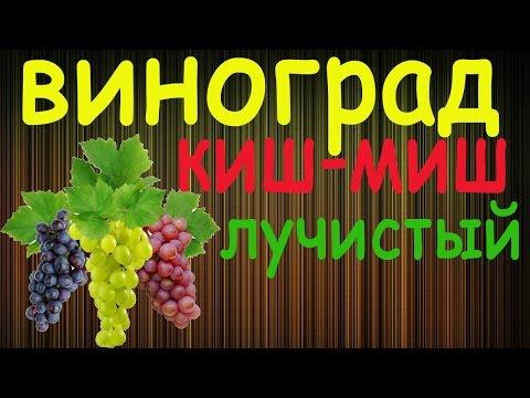 Виноград Киш миш лучистый