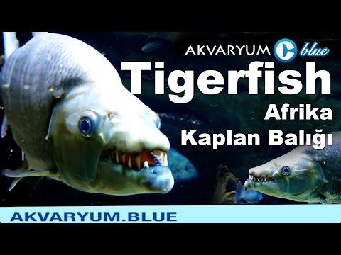 Afrika Kaplan Balığı - Giant Tigerfish