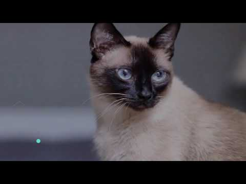 SIAMESE CAT: THE OLDEST DOMESTIC CAT BREED - ANIMAL BEAST