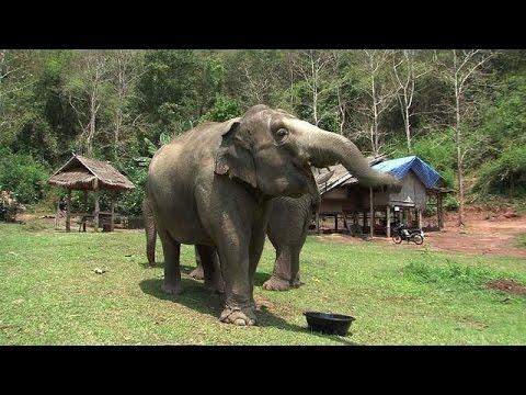 Expensive espresso: Thailand's elephant dung coffee