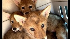 Coyote Pup Adoption
