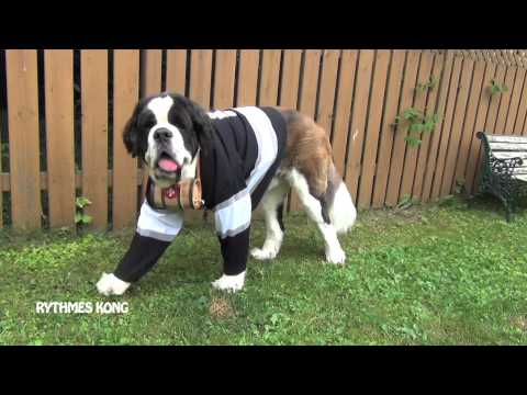 A St. Bernard Dog Wearing a Hockey Jersey
