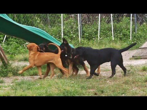Dog Body Language: Dominance - Puppies Learning Boundaries/Limitations Within a Balanced Pack