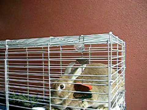 Palomino rabbit loves food