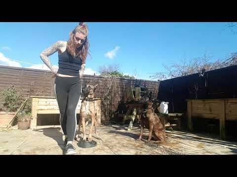Rottweiler Versus Belgian Malinois Protection Training Youtube
