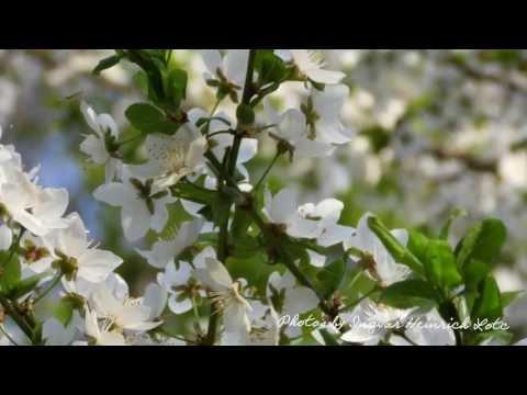 Vilnius: Antakalnis on cherry blossoms