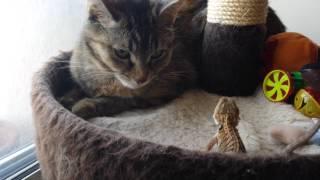 Baby Bearded Dragon Head Bobbing At Cat