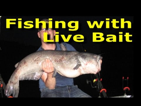Video Catfish live bait