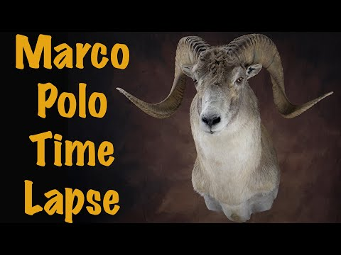 Marco polo Sheep Shoulder mount. Art of Taxidermy.