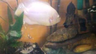 oscar en bettie bekvechten met elkaar dit zijn pauwoog vissen