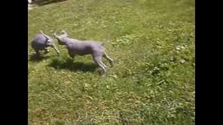 видео Перуанський голий собака