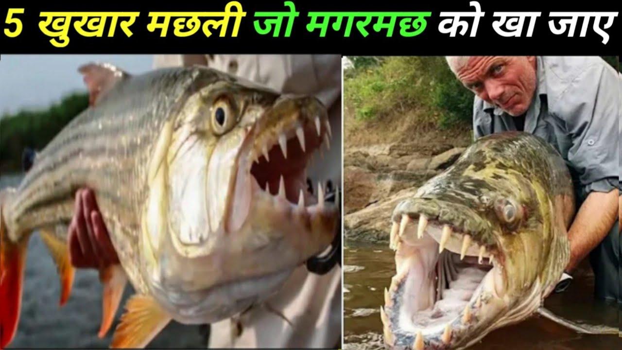 5 खुखार मछली जो मगरमछ को भी खा जाए destroyer animals of the world