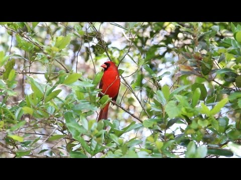 Male Northern Cardinal (Red Bird) Calling and Singing  - HD 1080p