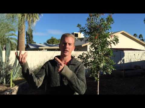 2 AMAZING Edible Trees for Phoenix, Arizona