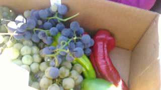 Grapes picking Lawrence Farm Newburgh, NY