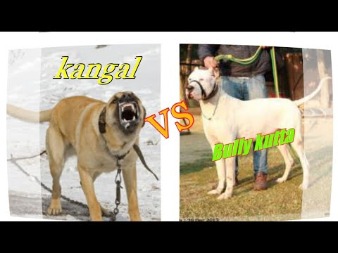Bully kutta vs kangal dog comparisons by Dog tubed.
