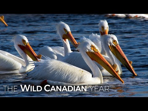 American White Pelicans Travel to Saskatchewan Looking for Love | Wild Canadian Year from YouTube · Duration:  3 minutes 22 seconds