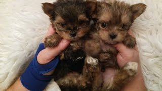 The Faery Dog Mother: Squeakers MORKIE babies! Ready soon!