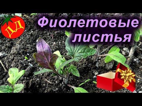 Фиолетовые листья у рассады помидор