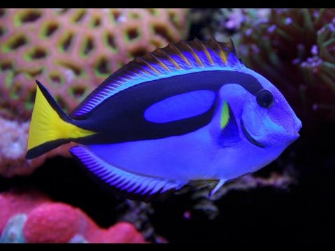 Facts: The Blue Tang (Palette Surgeonfish)