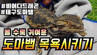 파충류 목욕시키기 도전! 테구도마뱀&비어디드래곤