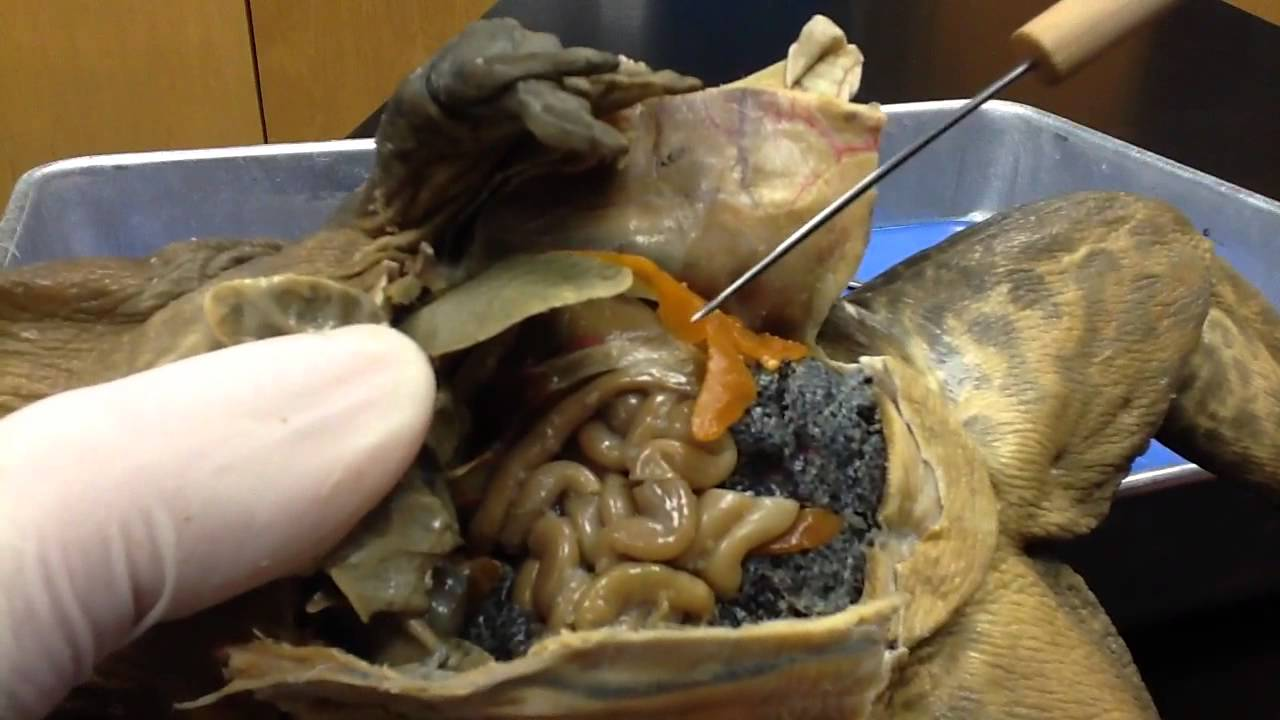 Frog dissection-Internal Anatomy - YouTube