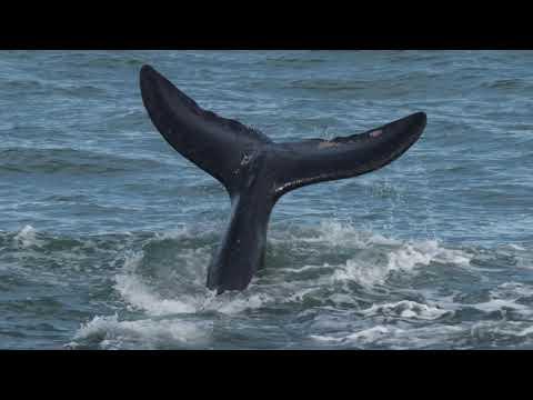 Whales at Middleton, SA.  Winter 2017