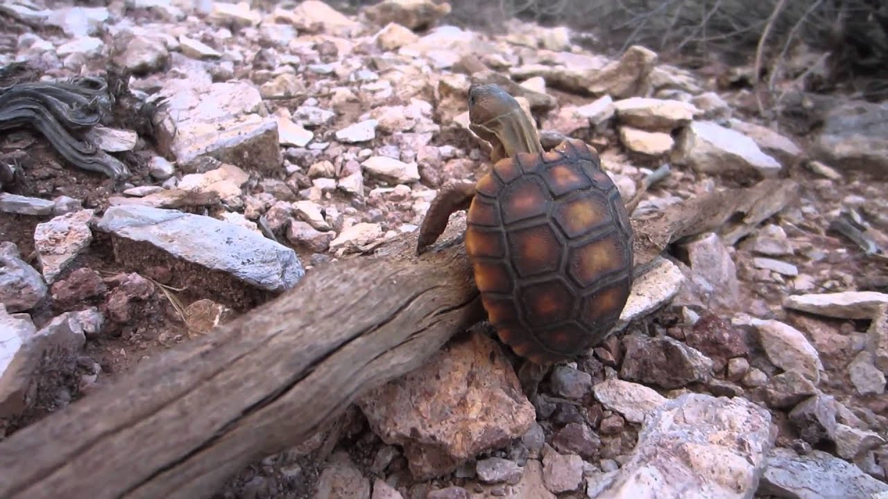 A wild baby Desert Tortoise - YouTube