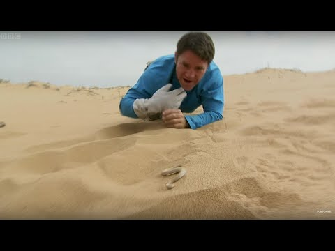 Sidewinder Snake Hides In Sand | Deadly 60 | BBC Earth