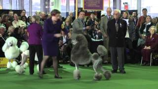 Poodle Standard Westminster Kennel Club Dog Show 2016