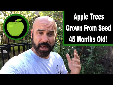 Apple Trees From Seed Update - 45 Months Old!