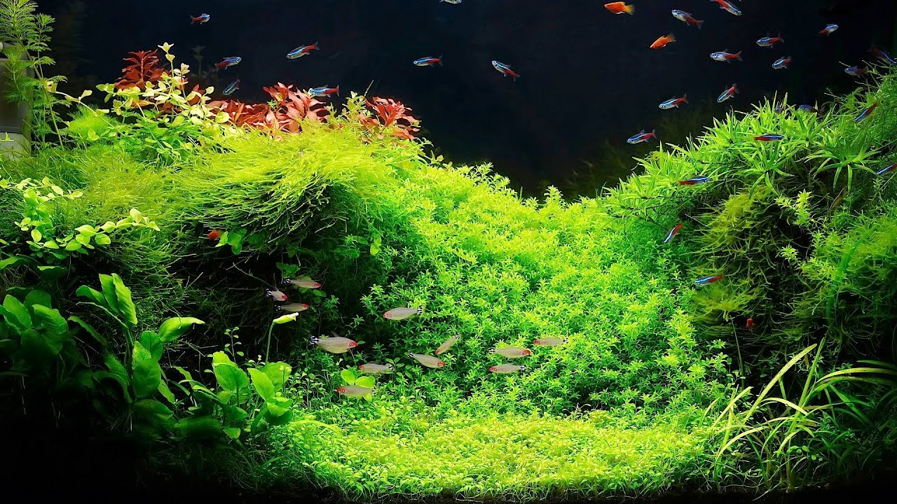 Setting up a fish tank with live plants aquarium care for Planted tank fish