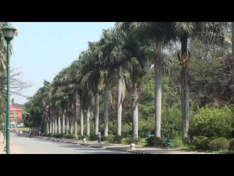 Cuban Royal Palm  Roystonea regia