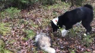Охота на енота с лайкой первая добыча