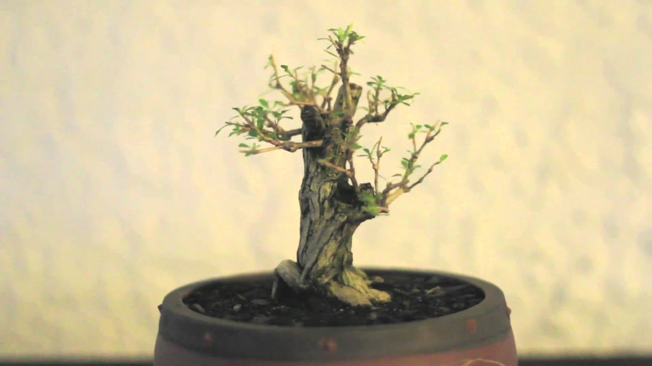 serissa mame 1 7 years on youtube rh youtube com wire ficus bonsai Ficus Bonsai