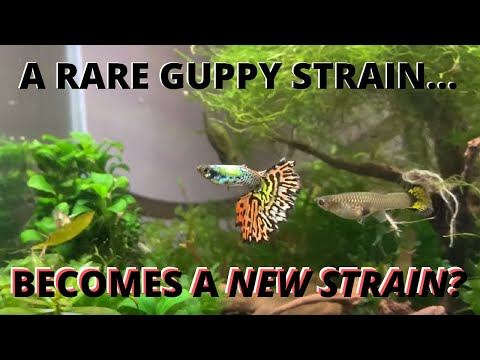 rare-imported-platinum-galaxy-tiger-guppy-strain-improved