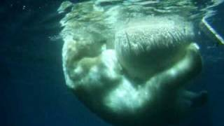 Baixar Polar Bears in