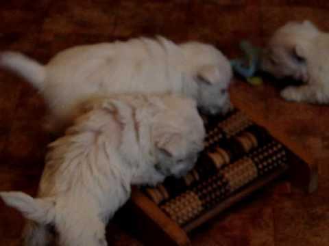 West Highland White Terrier szczenieta z hodowli Geslander