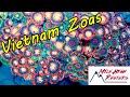 Coolest Budget Coral Vietnam Zoanthids