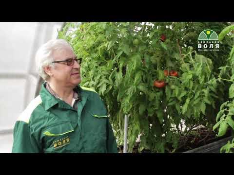 Выращивание томатов  в зимней теплице. часть 4