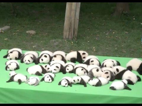 23 Baby Pandas Make Debut at southwest China Breeding Base