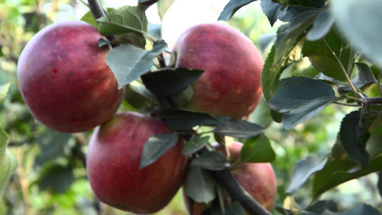 Скоро будет видео!. Купить яблоки с красной мякотью http://sc-victoriya. Ru/ shares/11743/. Этот овощ имеет характерный фиолетовый цвет кожуры и мякоти. Здравствуйте, весной 2018 гортензии будут с зкс или окс, в виде укорененных черенков или саженцев с побегами и со сколькими побегами.
