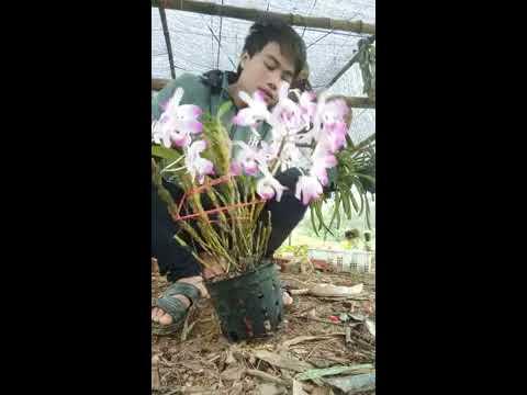 Cách trồng phong lan đùi gà sống 100%   Foci
