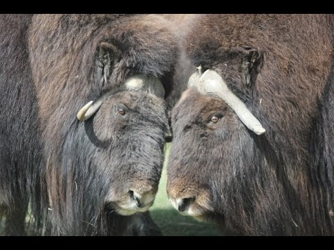 Is climate change making the muskoxen sick in Canada's High Arctic?