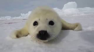 Как поет тюлень-(Жалко )