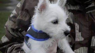 "Little Leeward, ""Louie"" - 9 week old Westie"