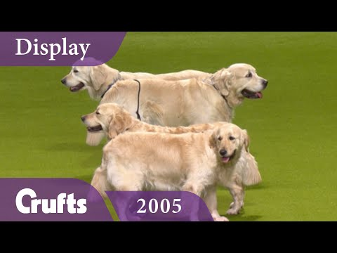Southern Golden Retriever Display Team performs at Crufts 2005 | Crufts Classics