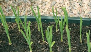 How to Grow Fresh Green Garlic - Video by Bhavna - Gardening made easy!