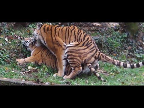 Kaplanların Çiftleşmesi   Hayvan Çiftleşmeleri
